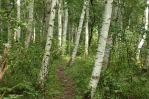 Pomorski las brzozowo-dębowy