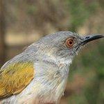 image beczak-szarogrzbiety-zambia-2010-jpg